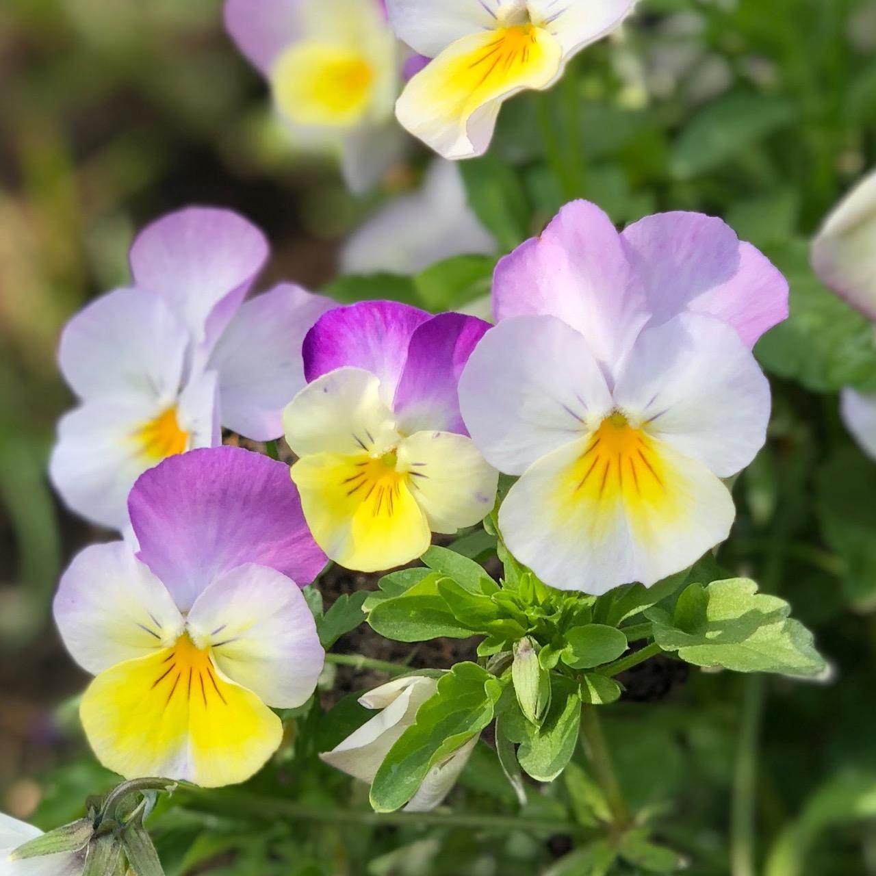 Spiselige blomster - Hornvioler