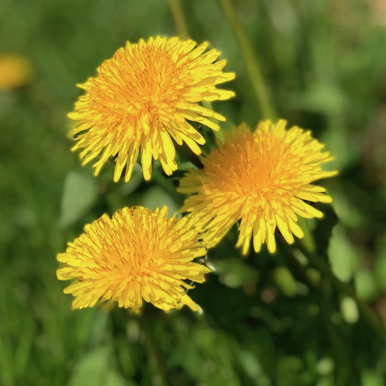 Spiselige blomster - Mælkebøtter